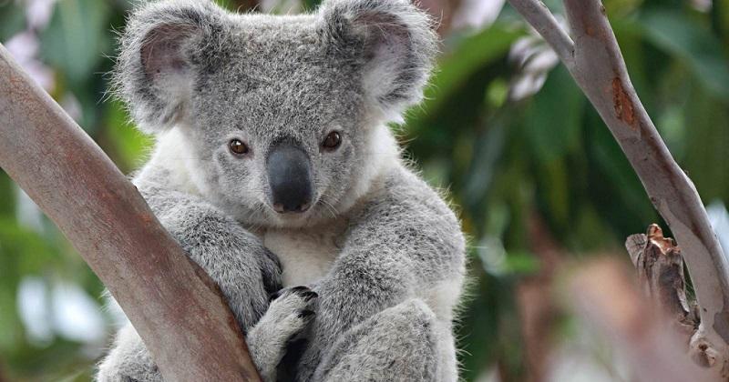 Австралия, коала