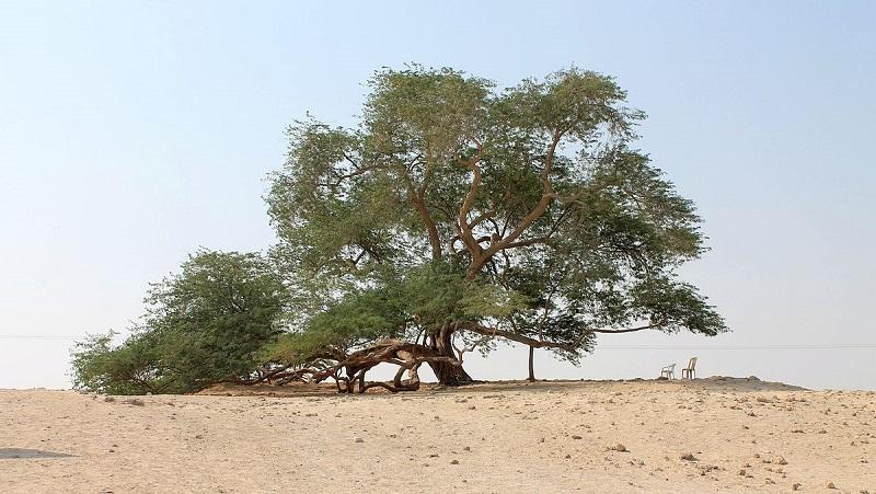 Жизнь посреди пустыни – «Дерево жизни» в Бахрейне